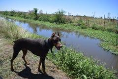 O Doberman para caminhadas, Doberman marrom anda pelo rio Imagem de Stock Royalty Free