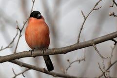 O dom-fafe bonito está sentando-se em um ramo de árvore Animais selvagens dos animais Foto de Stock