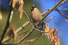O dom-fafe fêmea senta-se entre os ramos da árvore Fotografia de Stock Royalty Free