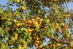 O domestica amarelo maduro do Prunus da ameixa do mirabelle frutifica na árvore, li Imagem de Stock Royalty Free