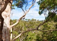 O dossel de formiga árvores: Austrália Ocidental Imagens de Stock