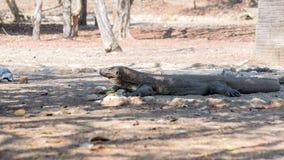 O dragão de Komodo Imagens de Stock Royalty Free