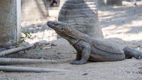 O dragão de Komodo Imagens de Stock