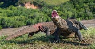 O dragão de Komodo Komodoensis do Varanus Foto de Stock Royalty Free