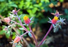 O echeveria colorido delicado floresce no rosa e no amarelo Imagens de Stock