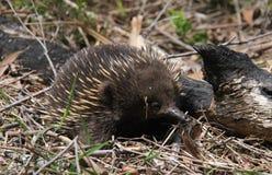 O Echinda ou Ant Eater espinhoso Fotos de Stock Royalty Free