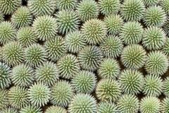 O echinops verde floresce o fundo Vista superior Fotografia de Stock