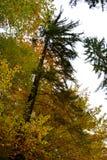 O eenzame boom in Poiana Brasov Stock Foto