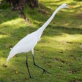 O egret branco anda na grama verde, Dominicana Fotos de Stock Royalty Free