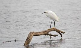 O Egret branco empoleirou-se no ramo na água salgada no pântano da conserva de natureza em San Jose del Cabo em Baja California M fotos de stock royalty free