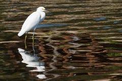 O Egret desengaça sua rapina Foto de Stock Royalty Free