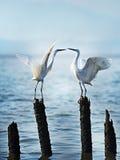 O Egret está beijando o ` fotografia de stock