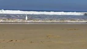 O Egret está na ressaca anda então ao longo da costa do Oceano Pacífico em Venice Beach vídeos de arquivo