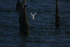 O Egret está travando peixes na água fotos de stock