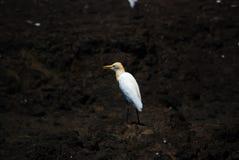 O egret intermediário, egret mediano, egret menor, ou egret amarelo-faturado fotografia de stock