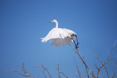 O Egret nevado decola Imagem de Stock