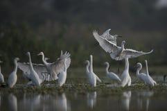O Egret pequeno que hutning em um lago Fotos de Stock Royalty Free