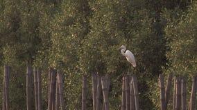 O Egret pisa em um coto de bambu video estoque