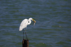 O Egret travou um peixe Foto de Stock Royalty Free