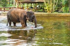 O elefante é refrigerado em uma lagoa no fundo de uma vila pequena imagens de stock
