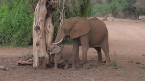 O elefante africano adulto com um bebê de uma árvore inoperante come formigas em Samburu video estoque