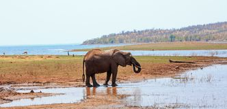 O elefante africano com o tronco ondulado na boca aprecia uma bebida contra um fundo do lago e da montanha no lago Kariba, Zimbab fotografia de stock royalty free