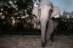 O elefante asiático. Tailândia Foto de Stock Royalty Free
