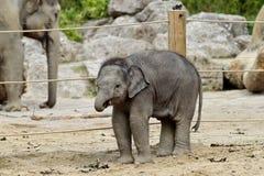 O elefante asi?tico, maximus do Elephas igualmente chamou o elefante de Asi?tico fotos de stock royalty free