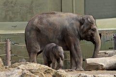O elefante asi?tico, maximus do Elephas igualmente chamou o elefante de Asi?tico fotografia de stock