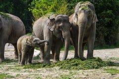 O elefante asi?tico, maximus do Elephas igualmente chamou o elefante de Asi?tico imagem de stock