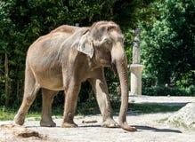 O elefante asi?tico, maximus do Elephas igualmente chamou o elefante de Asi?tico fotografia de stock royalty free