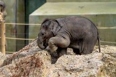 O elefante asi?tico, maximus do Elephas igualmente chamou o elefante de Asi?tico foto de stock