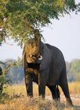 O elefante come os tiros novos da árvore zâmbia Abaixe o parque nacional de Zambezi Zambezi River Foto de Stock