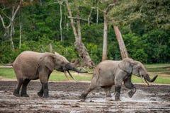 O elefante de ataque Forest Elephant (cyclotis do africana do Loxodonta), (elefante da moradia da floresta) da bacia de Congo Dza Fotos de Stock