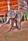 O elefante do bebê está jogando foto de stock