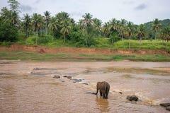 O elefante está indo através do rio Fotografia de Stock Royalty Free