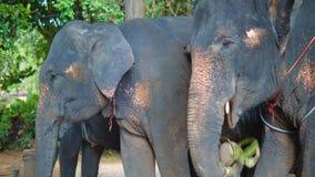 O elefante grande Bull aplaude suas orelhas para ficar fresco caminhadas em elefantes através das selvas de Ásia, de curso e de t filme
