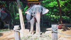 O elefante no serviço dos povos, o viajante e os turistas montam em elefantes através da selva, parque do safari filme