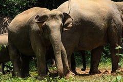 Elefante novo Fotografia de Stock Royalty Free