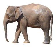 O elefante o menor, elefante precioso do pigmeu de Bornéu no fundo branco imagem de stock royalty free
