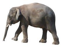 O elefante o menor, elefante precioso do pigmeu de Bornéu no fundo branco Fotografia de Stock