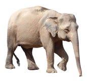 O elefante o menor, elefante precioso do pigmeu de Bornéu no fundo branco foto de stock royalty free