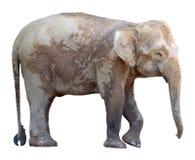 O elefante o menor, elefante precioso do pigmeu de Bornéu no fundo branco Fotografia de Stock Royalty Free