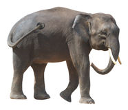 O elefante o menor, elefante precioso do pigmeu de Bornéu no fundo branco Fotos de Stock Royalty Free