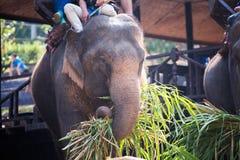 O elefante que é come a grama com o turista na parte traseira do elefante Fotografia de Stock