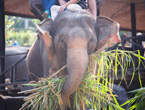 O elefante que é come a grama com o turista na parte traseira do elefante no elepha Foto de Stock Royalty Free