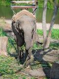 O elefante só do bebê que está em torno do coto acorrentado em uma corrente e mantém-se no tronco do bambu foto de stock