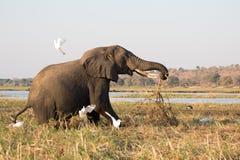O elefante velho da forragem assusta pássaros em Chobe, Botswana Fotos de Stock