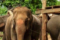 O elefante velho para a excursão Foto de Stock Royalty Free