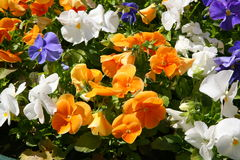 O elemento do projeto da paisagem é um canteiro de flores complexo da combinação Imagem de Stock